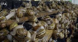 Ślimaki maxima,muller do spożycia, reprodukcji, kokony