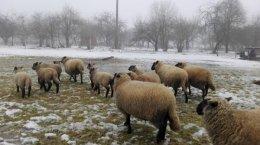Sprzedam owce czarnogłówki 10 sztuk (owieczki)