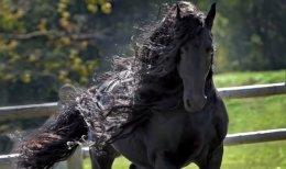 Koń fryzyjski klacze,ogiery,wałachy,odsadki żrebaki