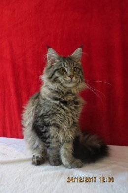 Cudowne kotki Maine Coon XXL - prawdziwy rodowód FIFe (FPL)