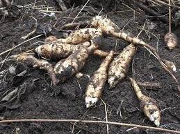 Topinambur słonecznik bulwiasty ziemniaki