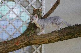 Kocięta Egipskie Mau z rodowodem WCF-małe gepardy gotowe do odbioru !!
