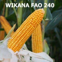 Nasiona kukurydzy , kukurydza siewna kwalifikowana wysyłka