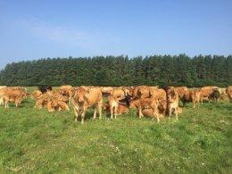 Skup bydła , żywca Płatność od reki konkurencyjne ceny