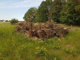 Oddam Korzenie, pnie, gałęzie drewno opał ! Oddam za DARMO!