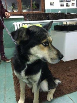 Duży, mądry pies do adopcji - ZEUS