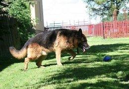 Max, piękny pies w typie owczarka niemieckiego do adopcji