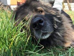 Luna sunia kaukaz do adopcji