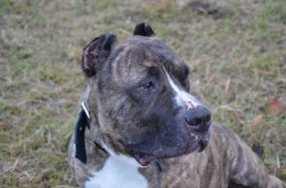 Amstaffy Niczyje Franc -Dog canario- do adopcji