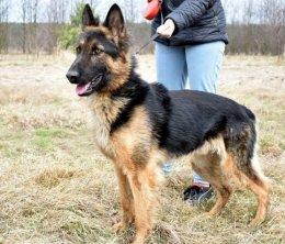 Alex pies w typie owczarka niemieckiego do adopcji