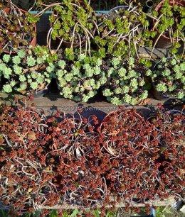 Rozchodniki do ogrodu na skalniak dla pszczół obwódki