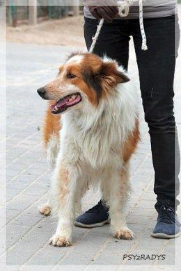 Kaszmir w typie collie, cudny pies w Radysach! :-(