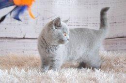 Kot Brytyjski Kocięta Brytyjski