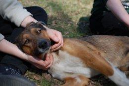 Nobel - szczupły wysportowany psiak do adopcji
