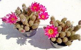 Kaktus Chamaelobivia Rainbow 2 sztuki różowe kwiaty