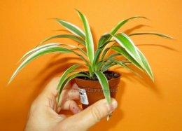 Sadzonki zielistka chlorophytum oczyszczanie powietrza krk