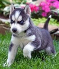 Dostępne szczenięta Siberian Husky o niebieskich oczach