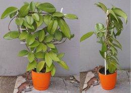 Hoya carnosa dorodna na drabince kwitnąca