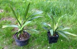 Kliwia miniata duże sadzonki roślina doniczkowa pokojowa krk