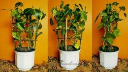 Philodendron Brazil duża roślina aroid urban jungle