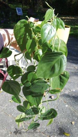 Philodendron hederaceum pnący aroid urban jungle