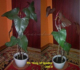 Philodendron King of Spades cała roślina aroid
